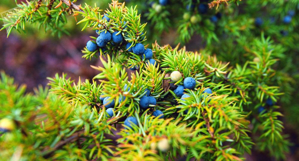 俄克拉斯诺亚尔斯克边疆区政府邀请中国企业在俄种植野生浆果和药用植物