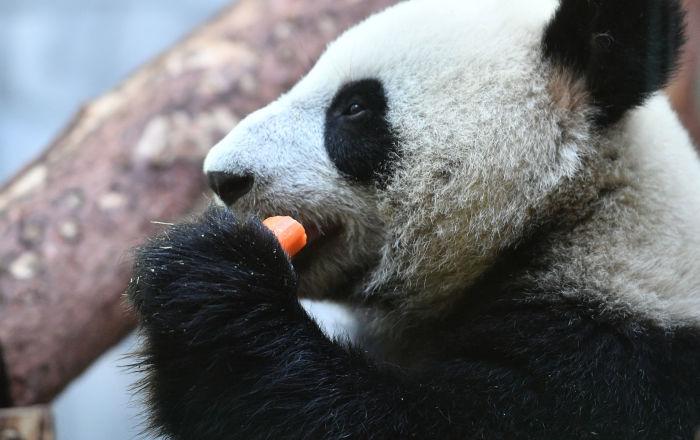 莫斯科动物园将在大熊猫馆安装高清摄像头