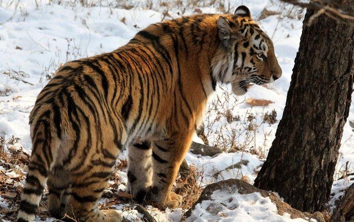 俄中两国国家公园商定就保护稀有虎豹问题展开合作